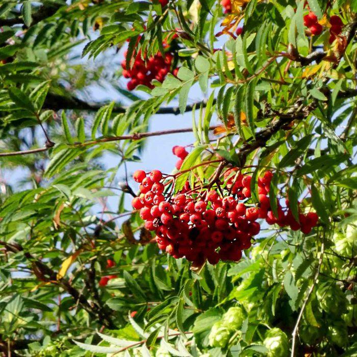 Die Eberesche wird auch geläufig als Vogelbeerbaum bezeichnet. Die korallenroten Früchte sind wichtige Futterquellen für überwinternde Singvögel.