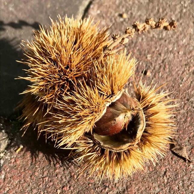 Die Früchte der Edelkastanie ähneln kleinen Igeln mit ihren vielen dichten Stacheln.