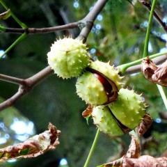 In den Kastanienfrüchten steckt ein Venenheiler und Entzündungshemmer - das Aescin.