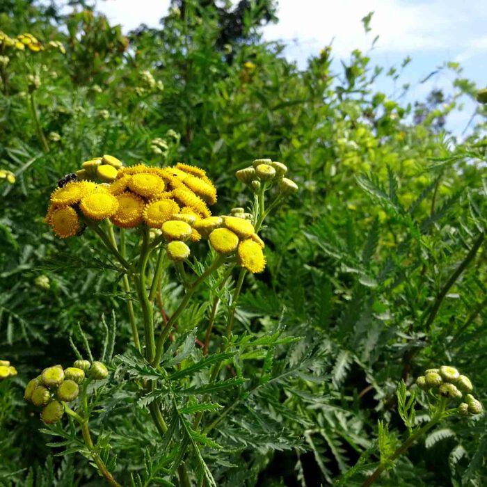 Knöpflekraut wird das Rainfarn auch wegen seiner Blütenform genannt.