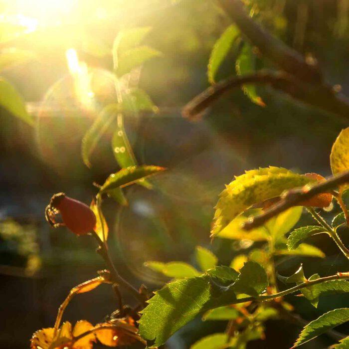 Die Klassiker der Pflanzenheilkunde haben im Heilkräutergarten ihren Platz gefunden.