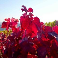 Rotes Weinlaub enthält Wirkstoffe, die einen positiven Heilungsverlauf der Gefässe in den unteren Extremitäten beschleunigen können.