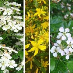 Weissdorn und Johanniskraut wurden zeitgleich zu den Heilpflanzen des Jahres 2019 gekürt.
