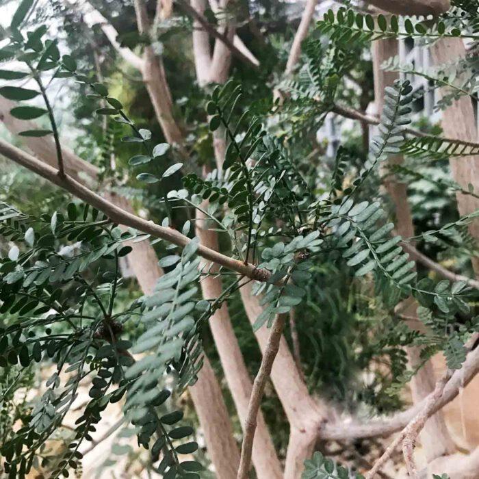 Myrrhe ist das Harz des Balsamstrauches aus der Gattung der Commiphora, die in Ostafrika und Südarabien beheimatet sind.