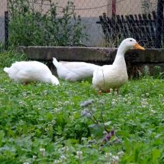 Noch schnettern die Gänse im saftigen Grün, bevor sie als Braten in der Röhre landen.