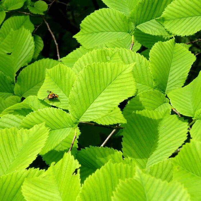 Die Blätter des sommergrünen Zaubernussstrauches ähneln im Aussehen der Haselnuss.