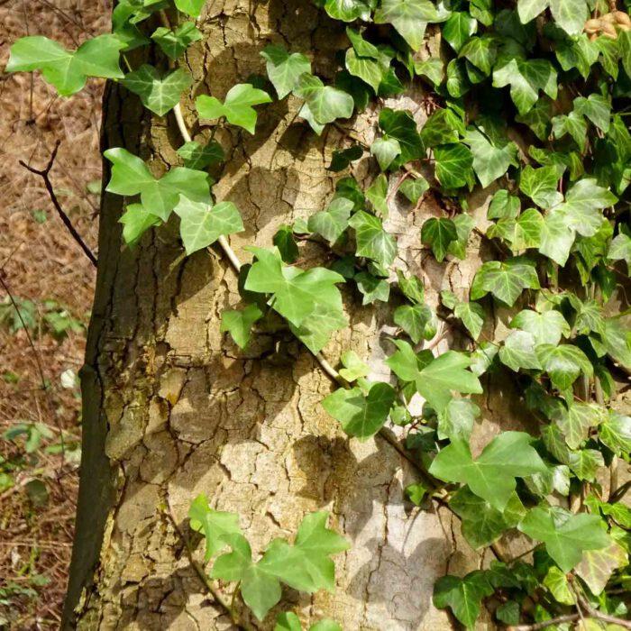 Efeu ist nicht nur ein dekorativ wucherndes Unkraut oder eine Friedhofspflanze. Er zählt zu den natürlichen Hustenstillern.