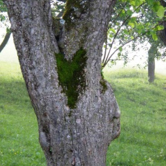 Moosherz in der Astgabel eines Apfelbaumes.