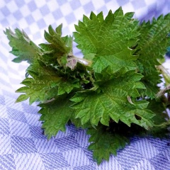 Frische Brennnesseln als Gemüse oder Tee sind ideal für die Frühjahrskur!