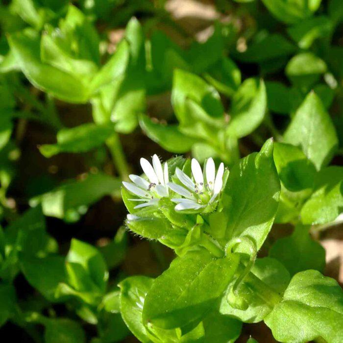 Zarte weisse Teppiche auf saftigem Grün können die Blütensterne der Vogelmiere im Frühjahr bilden.
