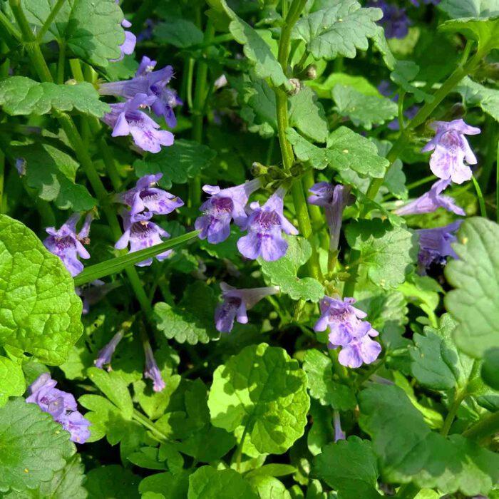 Königsblau durchwirkte Wiesenteppiche bilden die zarten kleinen blauen Blüten des Gundermanns.