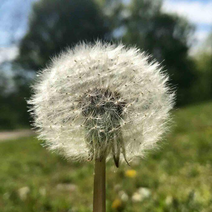 Pusteblumen sind die Fruchtstände des Löwenzahns. Wie kleine Fallschirmspringer segeln sie bei einem kräftigen Windstoss durch die Luft.