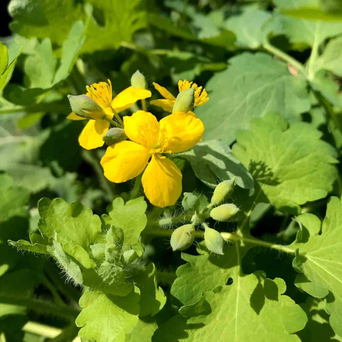 Neben der typischen Blattform ist das Schöllkraut leicht an seinem 4-blättrigen Blütenstand erkennbar.