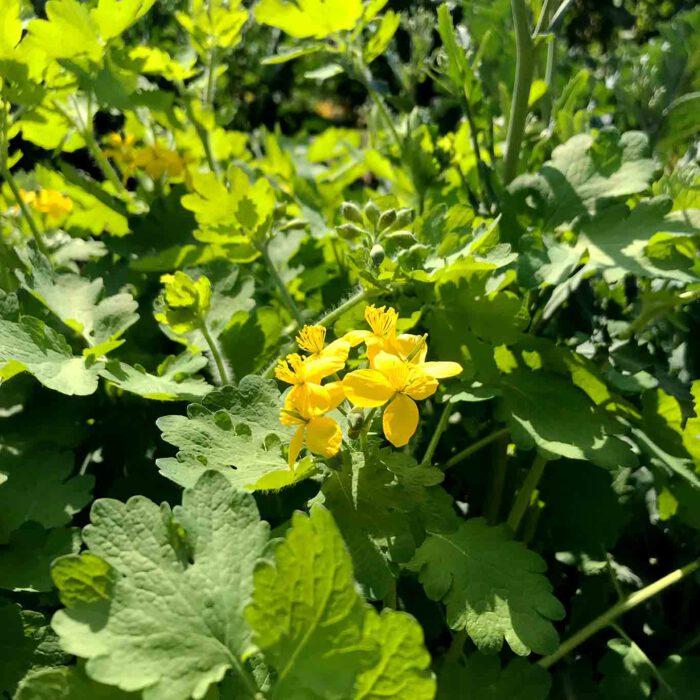 Neben dem 4-blättrigen gelben Blütenständen ist das Schöllkraut leicht an den fünffingrigen Blättern zu erkennen.
