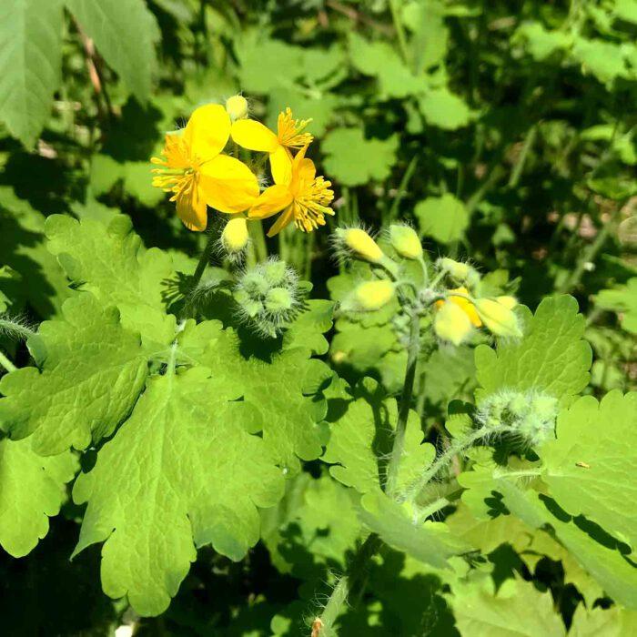 Typisch für das Schöllkraut sind die haarigen Stengel und die haarigen Blütenknospen mit den sonst glatten Blättern.