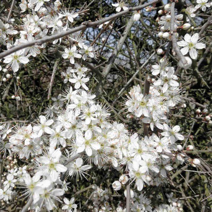 In weisse Hecken verwandeln die kleinen zarten Blüten die Schlehensträucher.