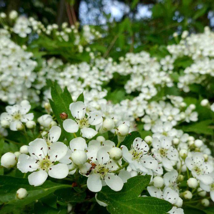 Blühende Weissdornhecken schmücken Weges- und Ackerränder im Frühling.