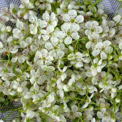 Luftig auf einer feuchtigkeitsaufsagenden Unterlage werden die Weissdornblüten zum Trocknen ausgebreitet.