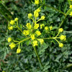 Die Raute ist eine uralte Pflanze in der Klostermedizin. Die Anwendungsgebiete der Raute wechselten im Laufe der Geschichte.