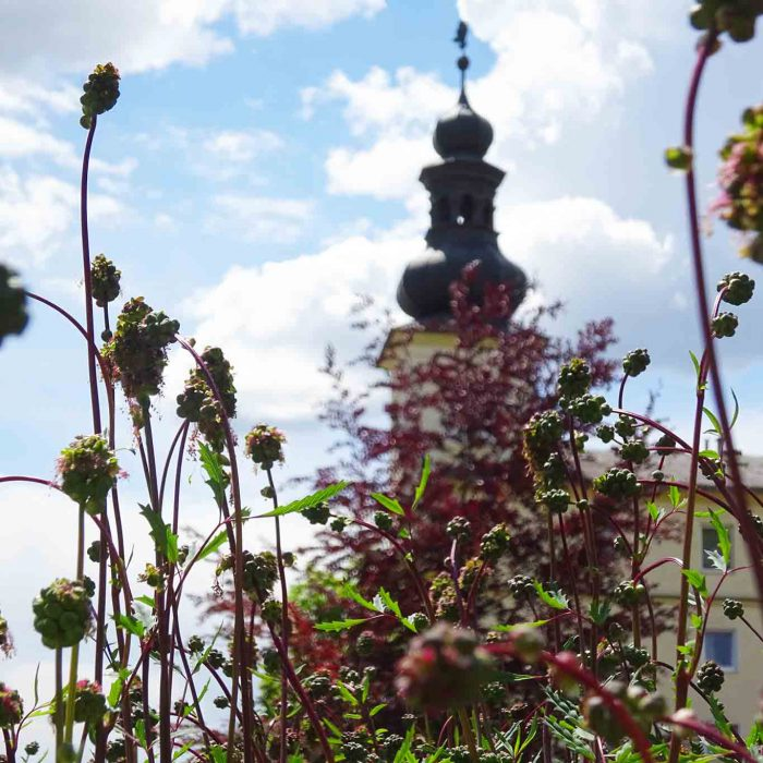 Freche Stängel treibt die Pimpernelle zur Blüte aus.