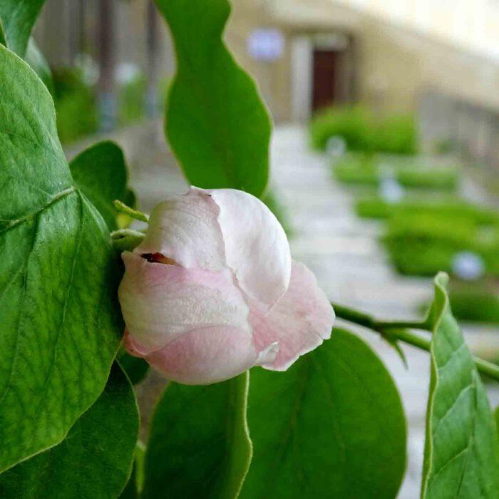 Quittenblüte auf den Terrassengärten Stift Zwettl.