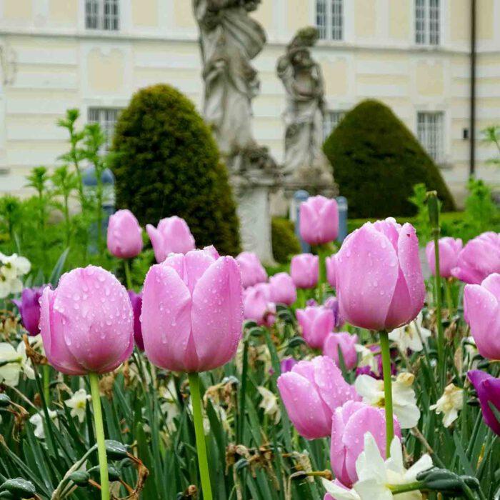 Üppige Tulpenblüte im Johannishof des Stiftes Altenburg.