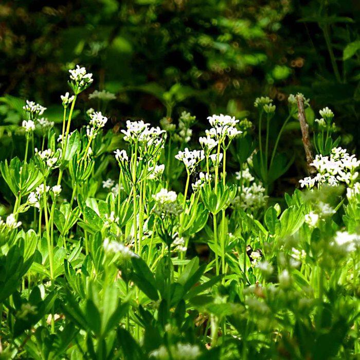 Wenn die kleinen weissen Blüten erblühen, wird der aromatische Duft besonders deutlich spürbar.