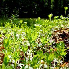 Aromatisch duftende grüne Teppiche bilden die kleinen zierlichen Waldmeisterpflänzchen in Buchenwäldern.