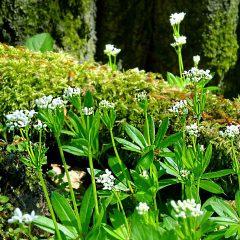 Blühender Waldmeister vor einem vermoosten Baumstamm