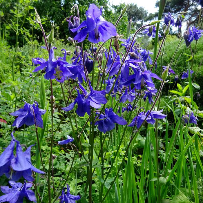 Blaue Akelei in voller Blüte.
