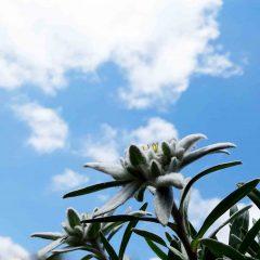 Der Schatz der Alpen ist kapriziös wie keine andere Blume.