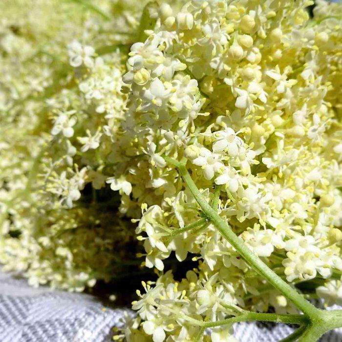 Holunderblüten sind ein hervorragender Rohstoff für Erkältungstee und tolle Leckereien.