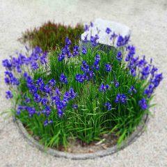 Ein Rondell mit blauen Schwertlilien.