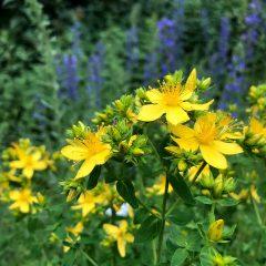 Die Blüte des Johanniskrauts kündet vom Höhepunkt des Jahres - dem Mitsommer.