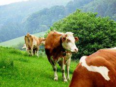 Kühe sind in der Regel ruhige und friedliche Tiere.