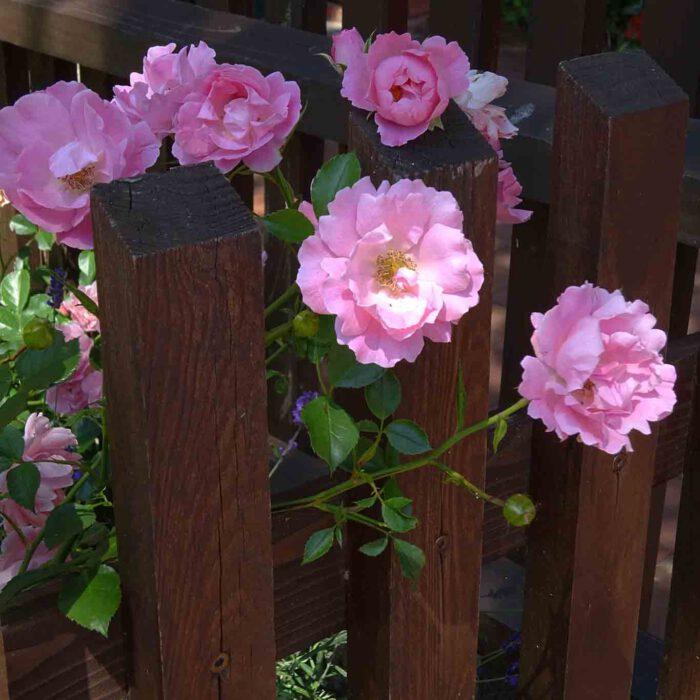 Schönheit, Liebe und Reinheit verkörpert die Rose.