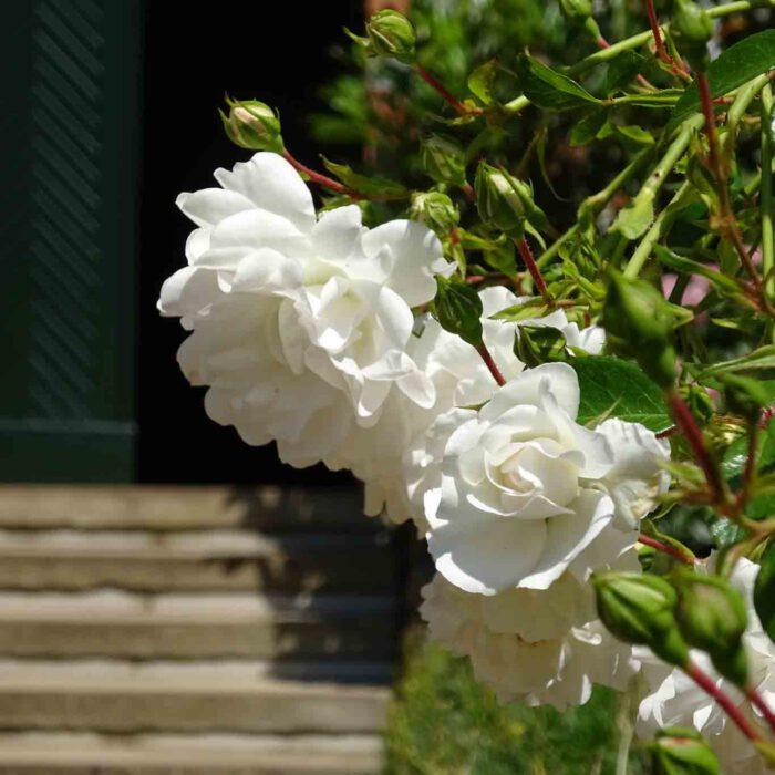 Unschuldiges Weiss der Blütenblätter der Rosen.