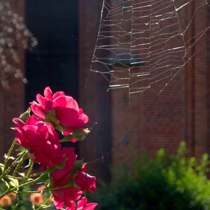 Auch Spinnen finden Rosen schön.