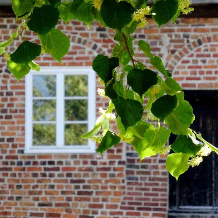 Lindenblüten sind etwas Feines im Juni vor dem Fenster und im Dezember als Tee.