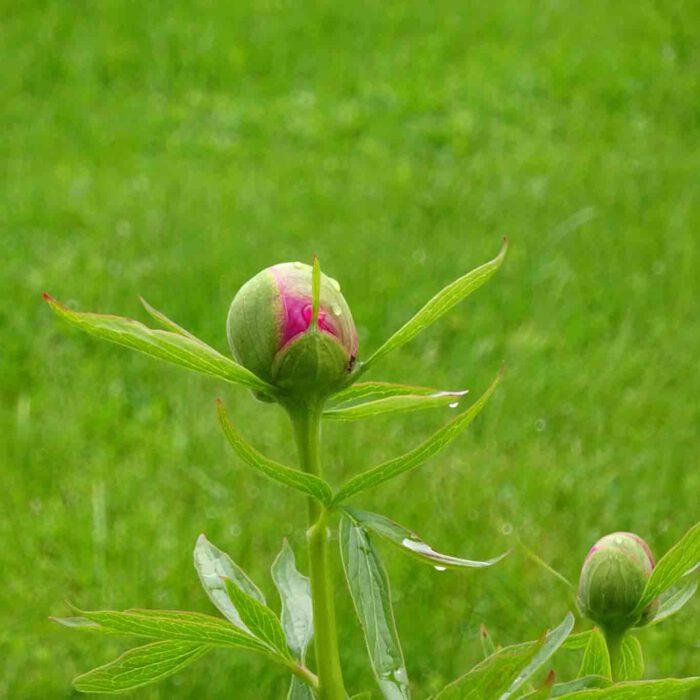 Bauernrosen werden die Pfingstrosen auch gennant. Als ob Bauern sich keine Rosen leisten könnten!