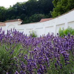 Üppig wurde der Lavendel ausgepflanzt und üppig gedeiht er.