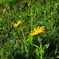 Allerweltsheil oder Arnika ist die ideale Heilpflanze für oberflächliche Verletzungen durch Arbeit oder Sport.