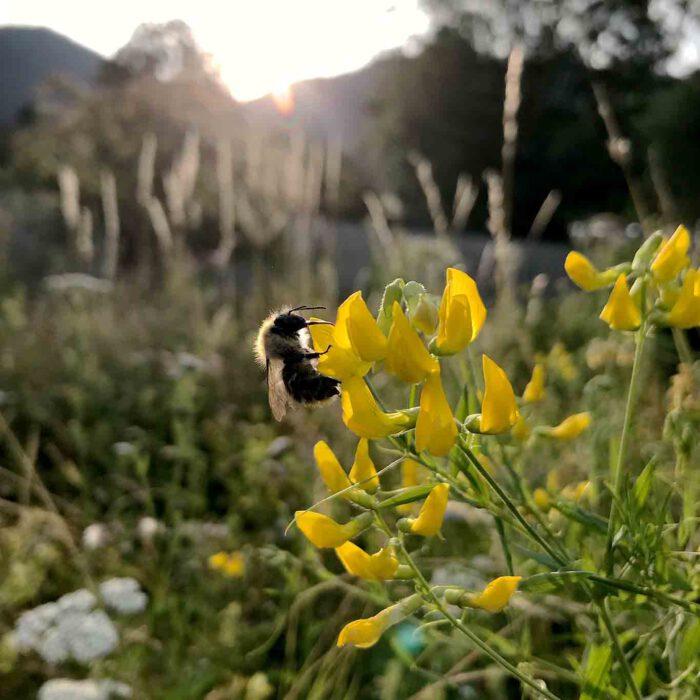 Schon früh am Morgen sind die kleinen Honigsammler unterwegs.