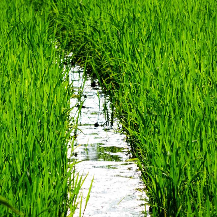 Rings um die Certosa di Pavia wird auf bewässerten Feldern Reis angebaut.