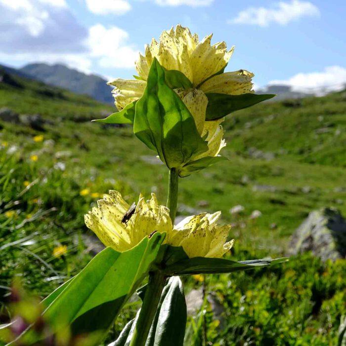 Die bogennervigen und graugrünen Blätter des gelben Enzians sind gegenständig angeordnet.