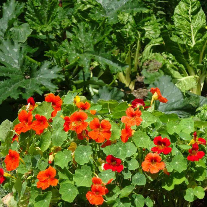 Kapuzinerkresse ist ein beliebtes Kraut in Bauerngärten. Die Senföle der Blüten und Blätter wirken antimikrobiell.