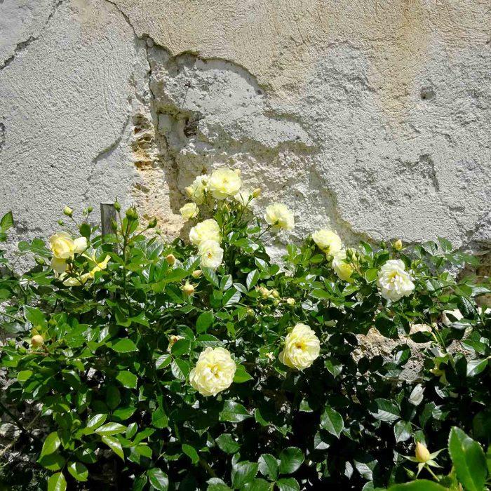 Viele Rosensorten zieren die Gärten rings um das Kloster.
