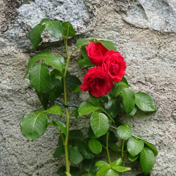 Die Rose, Mariens Blume, darf in keinem Kloster fehlen.