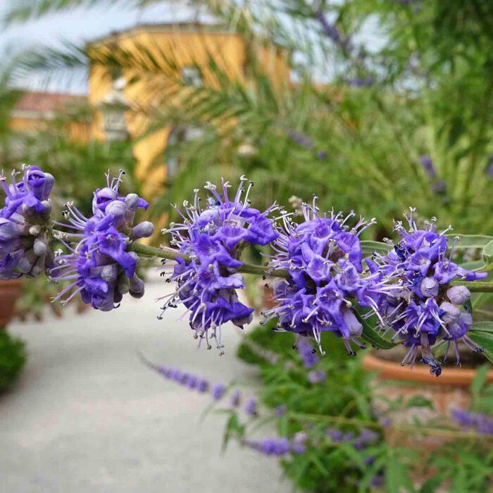Blühender Mönchspfeffer im Orto botanico di Padova. Der Mönchspfeffer war schon von jeher eine der bekanntesten Arzneipflanzen.