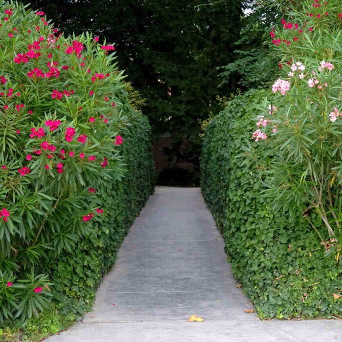 Die Gasse durch den Oleander verbindet den neuen und den alten Teil des botanischen Gartens.